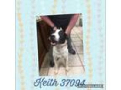 Adopt Keith a Pit Bull Terrier