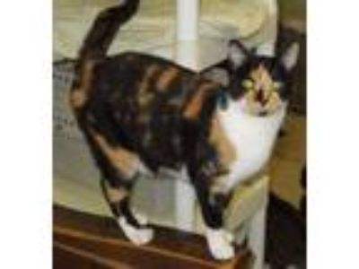 Adopt Callista a Calico, Domestic Short Hair