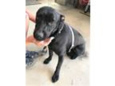 Adopt PATTI a Labrador Retriever