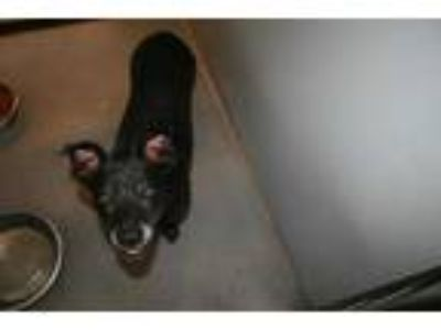 Adopt a Black - with White Rat Terrier / Mixed dog in Modesto, CA (25554338)
