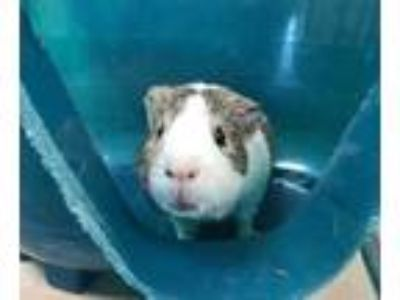 Adopt Eddie a Sable Guinea Pig / Mixed small animal in Boulder, CO (25659893)