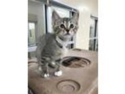 Adopt Florence a Bengal / Mixed cat in Birmingham, AL (25308139)