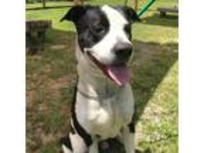 Adopt Buddy a Black - with White Mixed Breed (Large) / Mixed dog in Middleburg