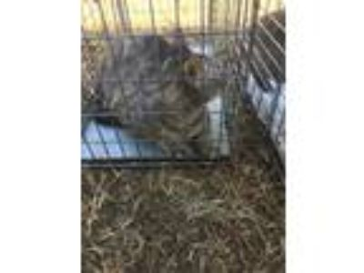 Adopt CAT6 a Gray, Blue or Silver Tabby Domestic Shorthair / Mixed (short coat)