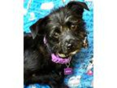 Adopt Barney a Terrier (Unknown Type, Medium) / Mixed dog in Novato