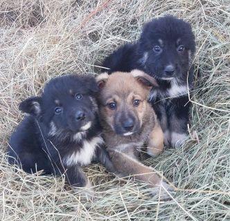 Great Pyrenees /Anatolian Shepherd/German shepherd  mix