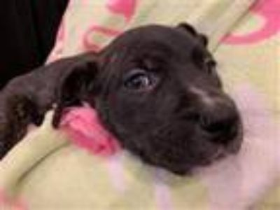 Adopt Blossom CN a Pit Bull Terrier