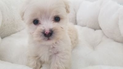 Maltipoo Puppy - Male - Sonny ($1,350)