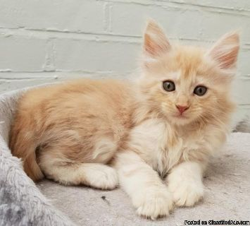 Adorable Maine Coon Kitten