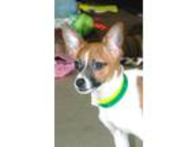 Adopt Paris a Toy Fox Terrier