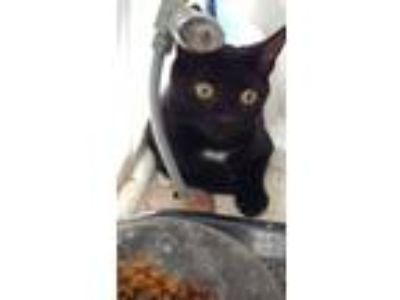 Adopt Savior a Black (Mostly) Domestic Shorthair (short coat) cat in Clarkson