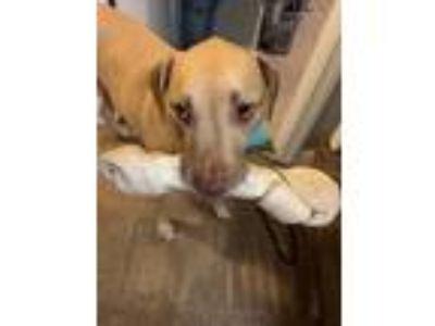 Adopt Chopper a Tan/Yellow/Fawn Labrador Retriever / American Pit Bull Terrier