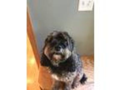 Adopt Mitzy a Black - with Tan, Yellow or Fawn Cockapoo / Mixed dog in Grand