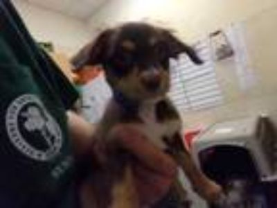 Adopt Aladdin a Brown/Chocolate Terrier (Unknown Type, Small) / Mixed dog in