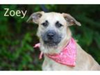 Adopt Zoey a Wirehaired Terrier