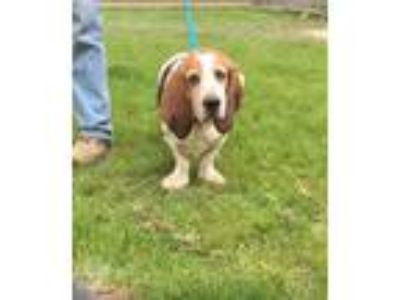 Adopt Buford a White Basset Hound / Mixed dog in Hudson, NY (25245011)