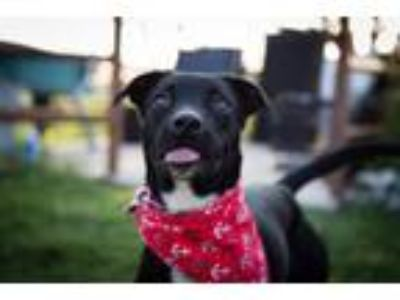 Adopt Billy JuM a Labrador Retriever, Whippet