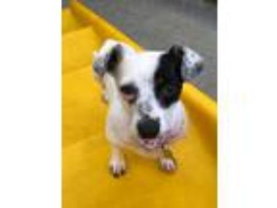 Adopt Pickles a White - with Black Dachshund / Mixed dog in Beverly Hills