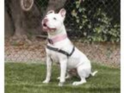 Adopt SUGAR a White - with Tan, Yellow or Fawn American Pit Bull Terrier / Mixed