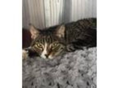 Adopt George a Gray, Blue or Silver Tabby American Shorthair (short coat) cat in