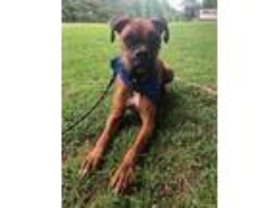 Adopt Jax a Red/Golden/Orange/Chestnut - with White Boxer / Mixed dog in