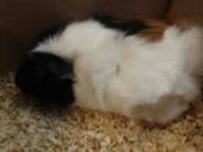 Adopt CHEEKY a Black Guinea Pig / Mixed small animal in Chatsworth