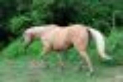 Casey Quarterhorse Horse