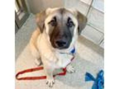 Adopt Sheldon a Anatolian Shepherd, Mixed Breed