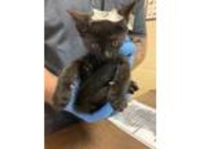 Adopt 41754875 a All Black Domestic Shorthair / Domestic Shorthair / Mixed cat