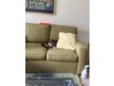 Adopt Calli a Calico or Dilute Calico Calico cat in Fredericksburg