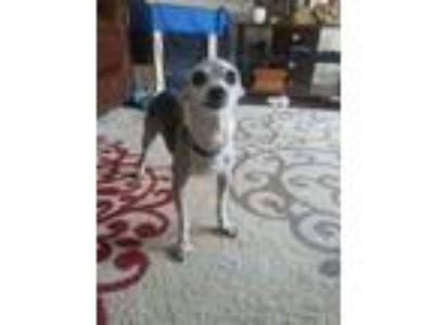 Adopt Nicholas- Houston area a Italian Greyhound