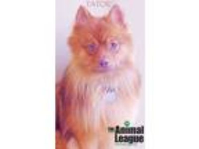 Adopt Tater a Red/Golden/Orange/Chestnut Pomeranian / Australian Shepherd /