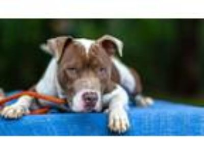 Adopt Benson a White - with Brown or Chocolate American Pit Bull Terrier / Mixed