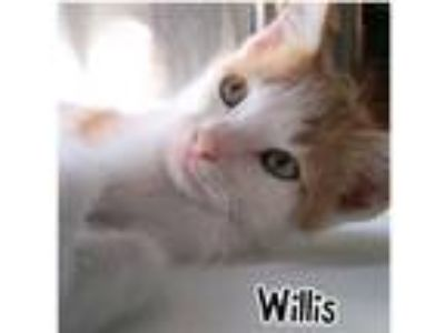 Adopt Willis a Orange or Red Domestic Shorthair / Domestic Shorthair / Mixed cat