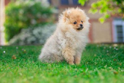 2 Pomeranian Puppies for Adoption