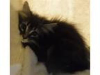 Adopt Cherry a Domestic Mediumhair / Mixed cat in Silverdale, WA (25913314)