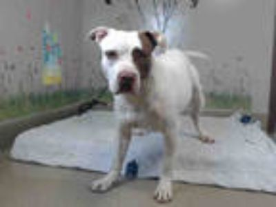 Adopt OBERON a White - with Brown or Chocolate American Pit Bull Terrier / Mixed