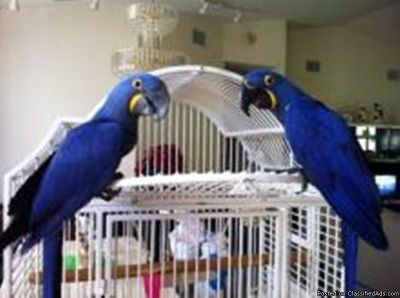 Domestik Dna Fully Tame Hyacinth Macaw Parrots