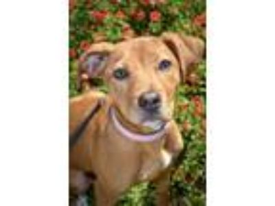 Adopt Gabby Gabby a Tan/Yellow/Fawn American Pit Bull Terrier / Mixed dog in