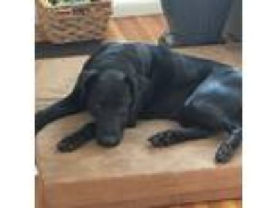 Adopt DeeDee a Black Labrador Retriever / Mixed dog in Minneapolis