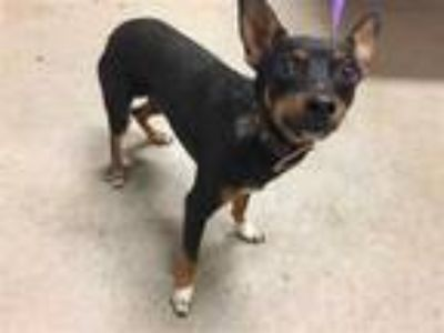 Adopt a Tricolor (Tan/Brown & Black & White) Miniature Pinscher / Mixed dog in