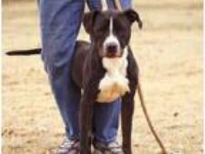 Adopt Poochie a American Staffordshire Terrier