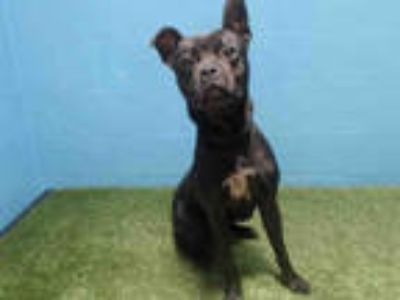 Adopt MAJOR a Black - with White American Pit Bull Terrier / Mixed dog in