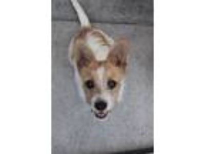Adopt Jules a White - with Red, Golden, Orange or Chestnut Jack Russell Terrier