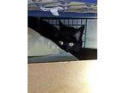 Adopt Tabitha a All Black American Shorthair / Mixed cat in Ossining
