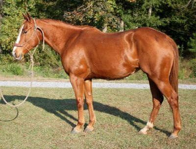 Gentle APHA Riding Mare