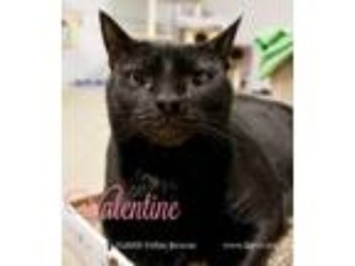 Adopt Valentine a Domestic Short Hair