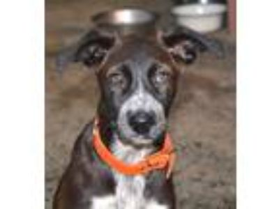 Adopt Dixie a Black - with White Labrador Retriever / English Springer Spaniel /