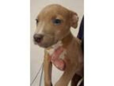 Adopt Doogie a Tan/Yellow/Fawn American Pit Bull Terrier / Mixed dog in