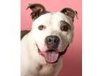 Adopt Mookie a Pit Bull Terrier